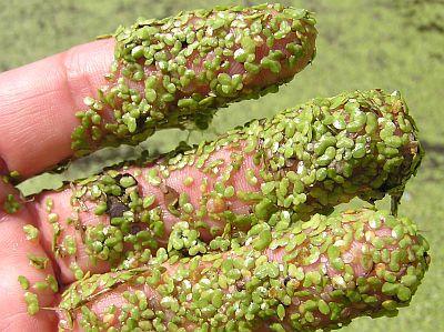 common duckweed